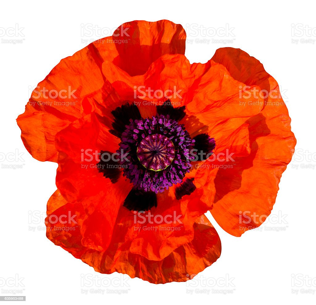red poppy isolated on white background stock photo