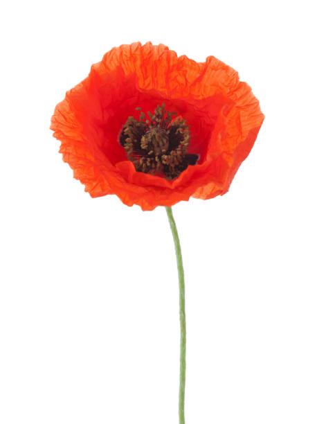 red poppy isolated on white background. - pręcik część kwiatu zdjęcia i obrazy z banku zdjęć