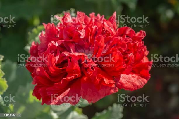 Red poppy on a sunny day picture id1254599112?b=1&k=6&m=1254599112&s=612x612&h=ye ydhsjmvod65vynr7kdjnx4cv l2wigom4zxzohw4=