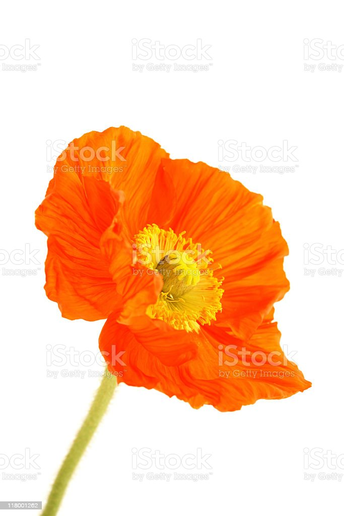 A red poppy on a white background royalty-free stock photo
