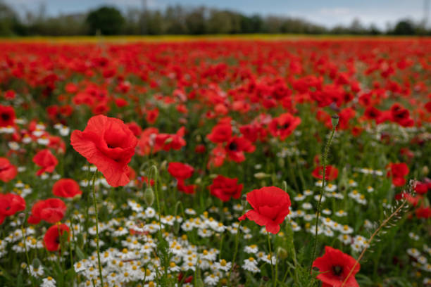 Red poppy on the field stock photo