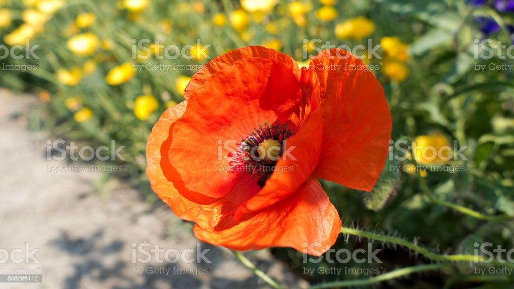 Red poppy, Papaver, blooming, background with summer flowers stock photo