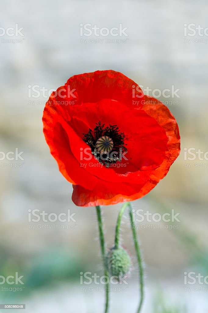 Red poppy, Papaver, blooming in red stock photo