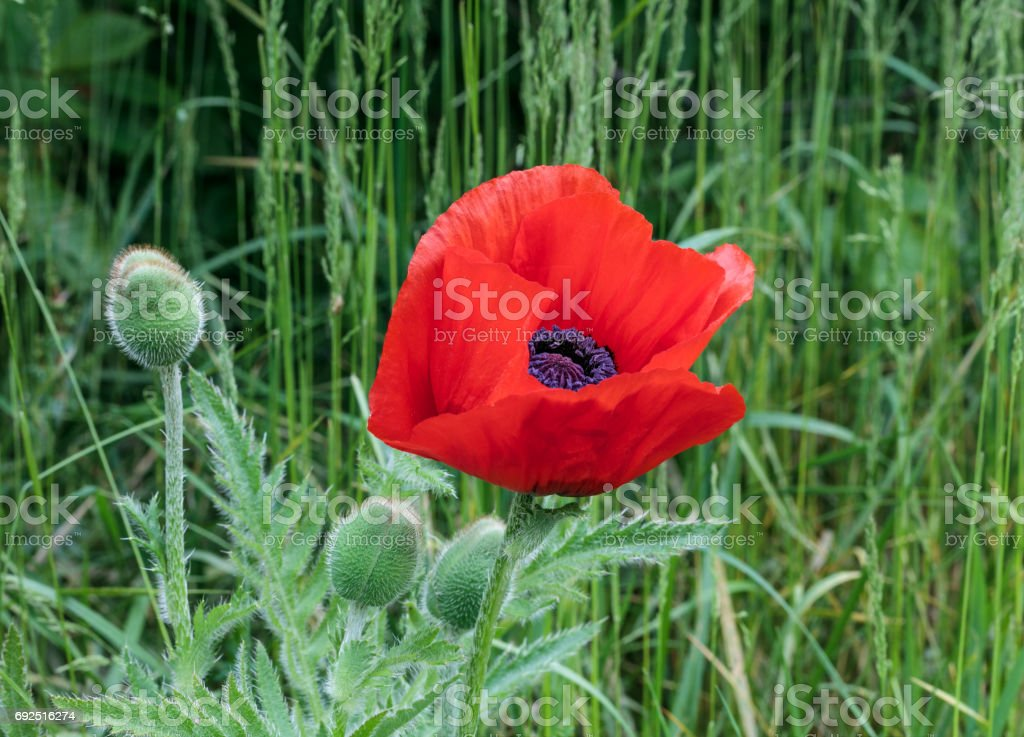 Red poppy, Papaver, blossom with buds and green staff stock photo