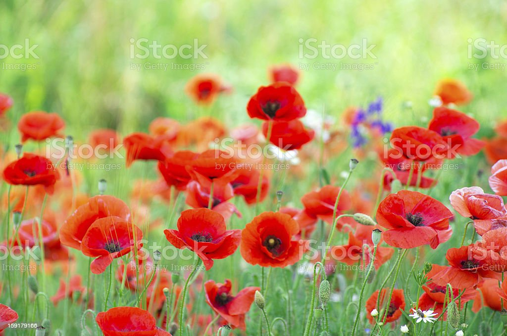 red poppy royalty-free stock photo