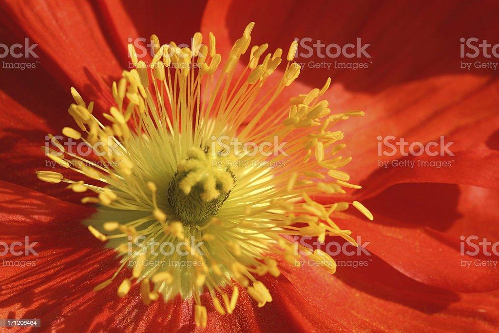 red poppy royalty-free stock photo