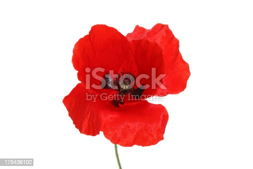 Red Poppy isolated on white.