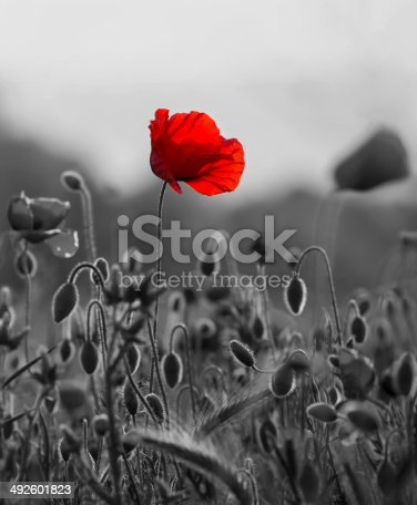 istock Red poppy 492601823