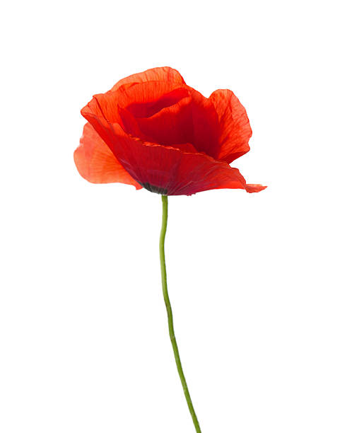 Royalty free poppy pictures images and stock photos istock red poppy stock photo mightylinksfo