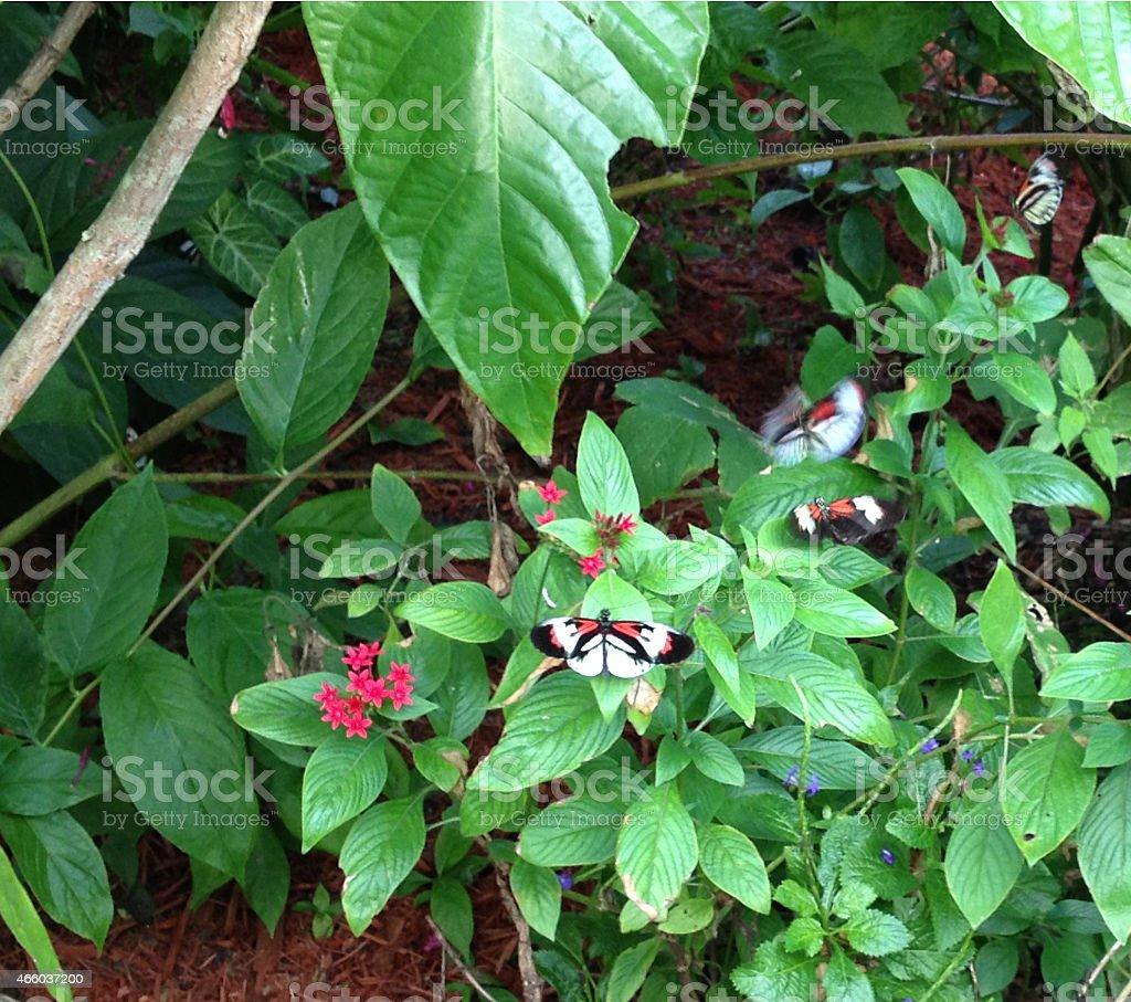 Red postman butterflies stock photo