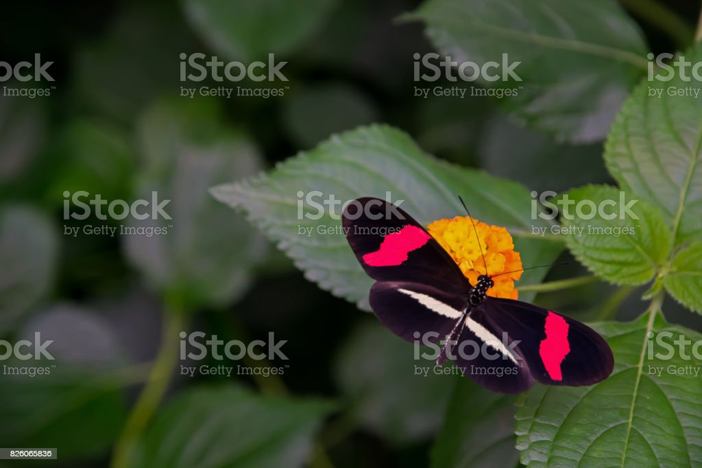 Red postman butterfly, casually sitting on a Lantana flower. stock photo