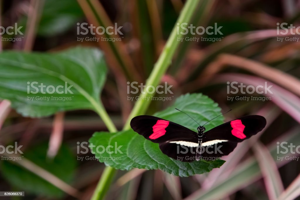 Red postman butterfly, casually sitting on a leaf. stock photo