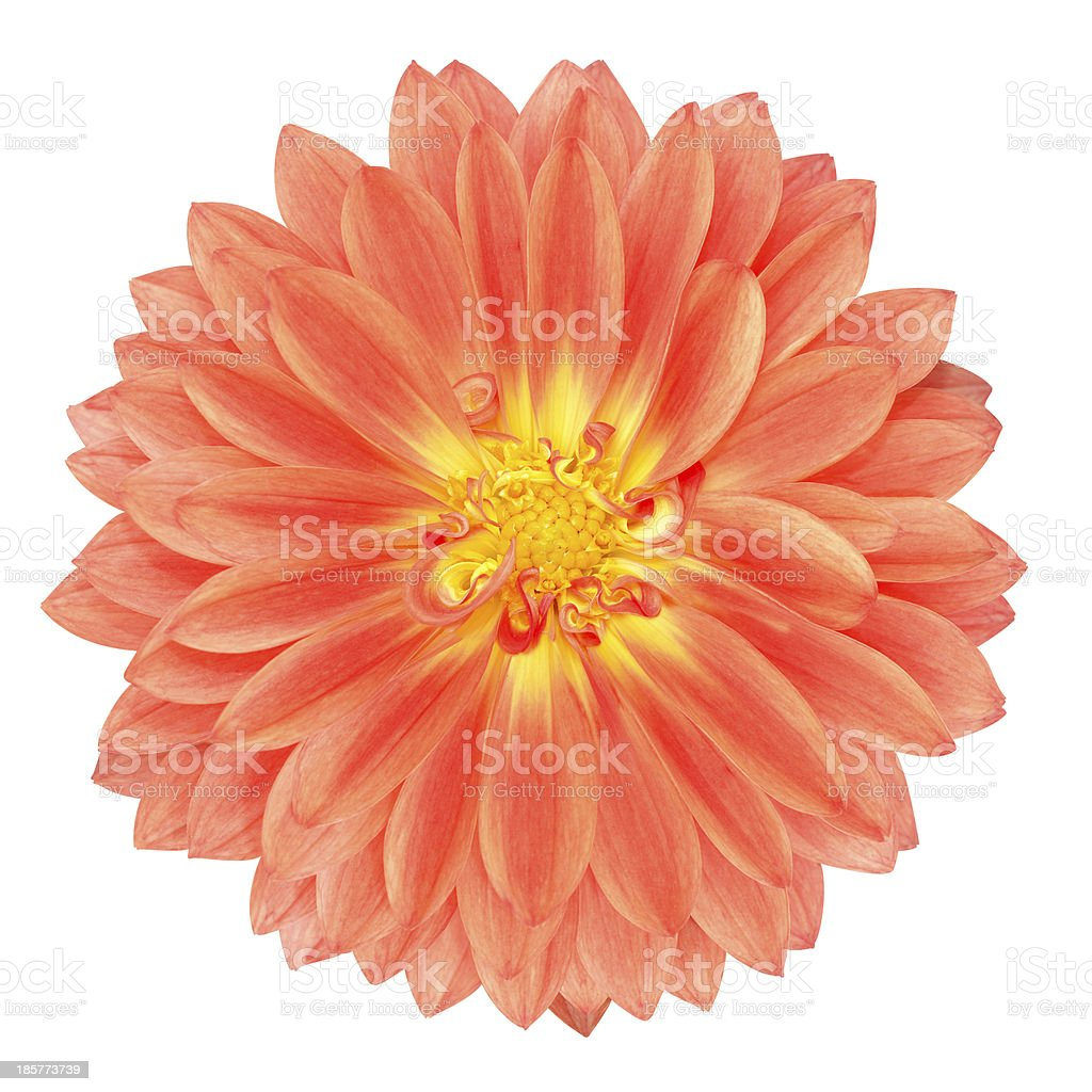 Red Pot Marigold Gerbera Flower Isolated On White Stock Photo More