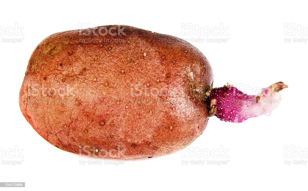 Red Potato Sprout royalty-free stock photo