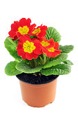 red primula flower in flowerpot. white isolated background.