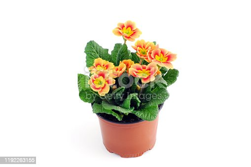 red primula flower potted on white background.