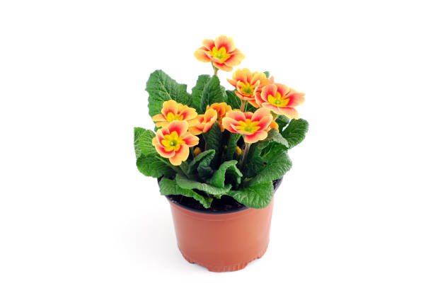 red primula flower potted on white background. red primula flower potted on white background. perennial stock pictures, royalty-free photos & images