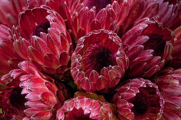 red protea - protea strauß stock-fotos und bilder
