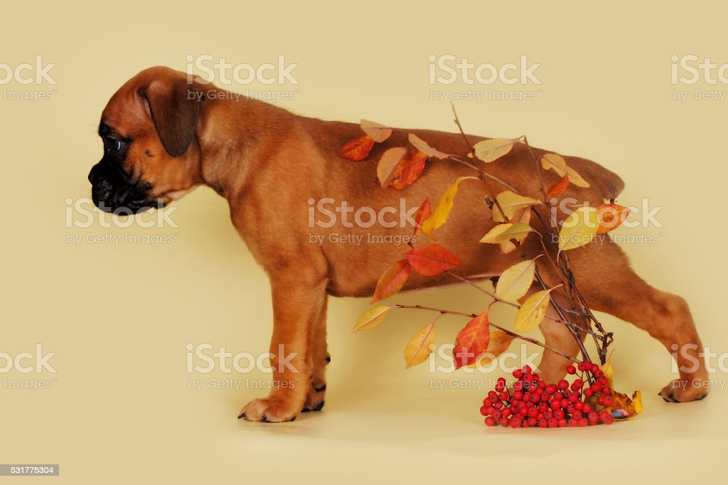 Red Puppy Boxer Stands Sideways Over Autumn Leaves Stock Photo