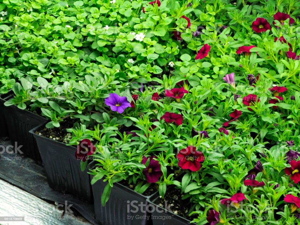 Red Purple Calibrachoa Flower Plug Starts in Home Greenhouse stock photo