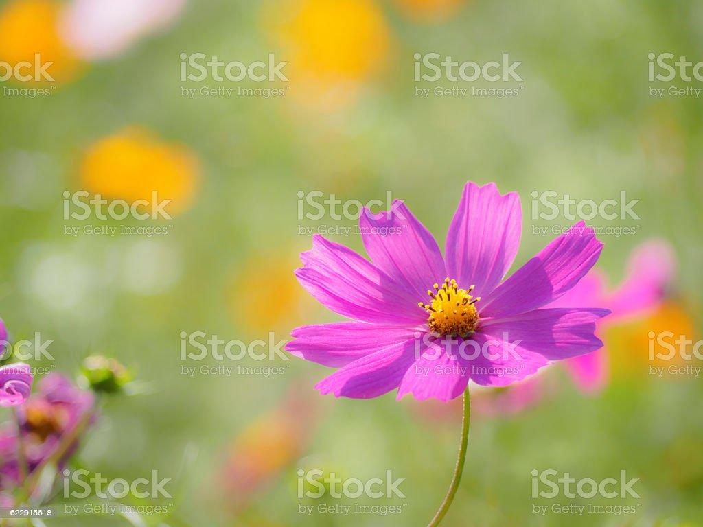 Red purple cosmos ストックフォト