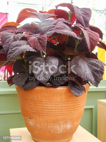 Red purple leaves of the coleus plant, Plectranthus scutellarioides pot plant