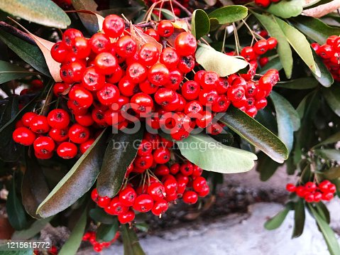 These attractive red berries are part of the reason why pyracantha evergreen shrubs are popular in landscaping.