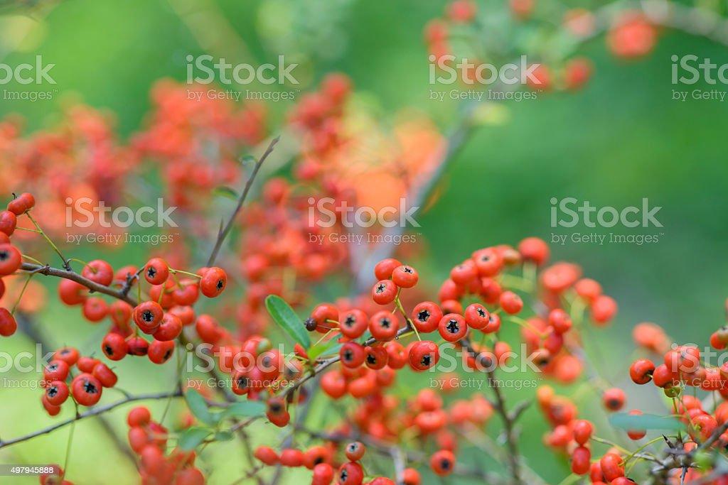 Rouge pyracantha rouges - Photo