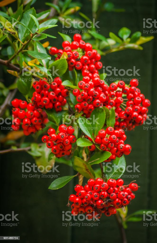 Baies de buisson ardent Pyracantha rouge - Photo