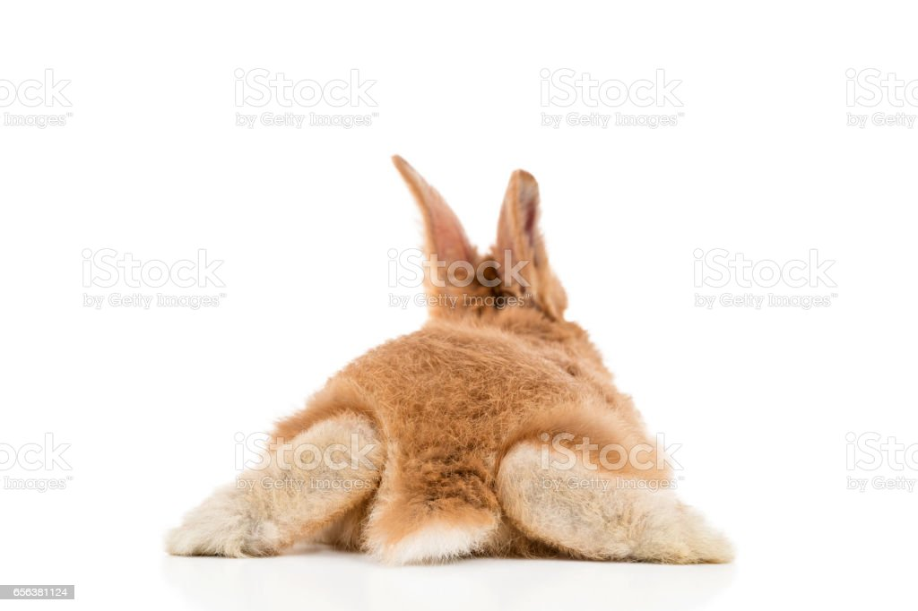 Red rabbit, back view stock photo