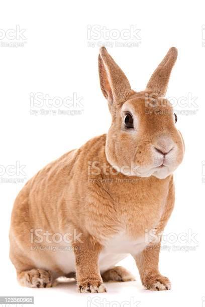 Red rabbit sitting picture id123360968?b=1&k=6&m=123360968&s=612x612&h=q4nqipu0 dwk efmvhgg1ei9xb3xf4eoop0jmvzhbh8=