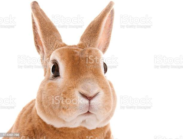 Red rabbit sitting picture id123361766?b=1&k=6&m=123361766&s=612x612&h=a1asjhlo hv5woozy3oam m3tso 1ksmd8z4g3gqodi=
