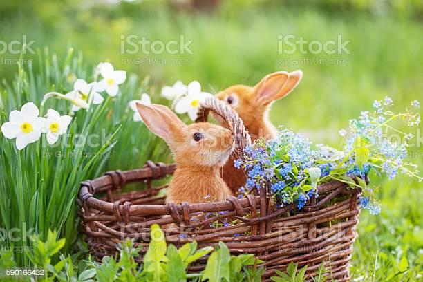 Red rabbits outdoor picture id590166432?b=1&k=6&m=590166432&s=612x612&h=dkmadlpiqtcxtobfpoyxhfpnyxtiiart3b4 t infie=