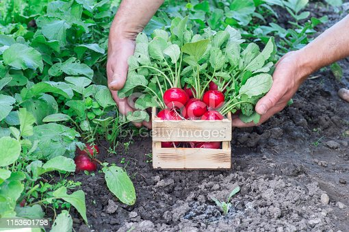 istock Red radish with lush green tops in the hands of a farmer in a wooden box in the garden. Background. 1153601798