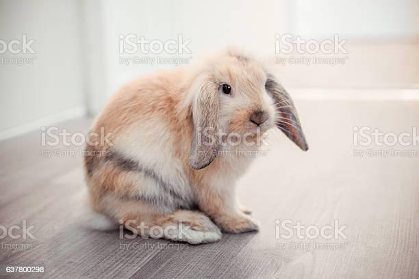 Red ram rabbit in apartment picture id637800298?b=1&k=6&m=637800298&s=612x612&h=ehq2m20melqvgb6dnjtqrl85jqwxs9o0i xfemlitrs=