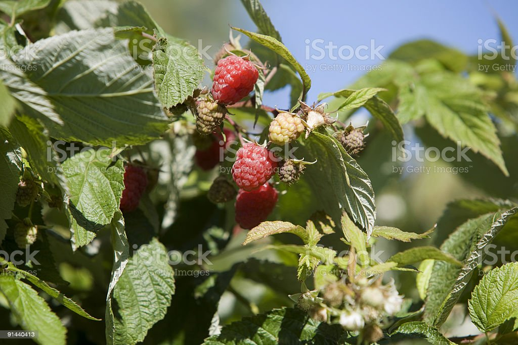 Red Raspberries royalty-free stock photo