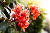 istock Red Rhododendron Flower 1284048494