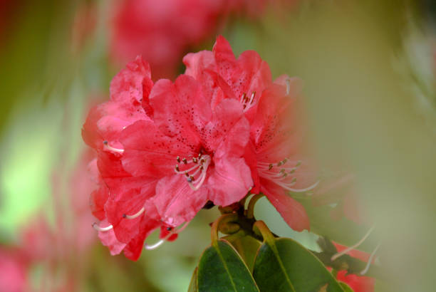 Red Rhododendron flower with green defocused background stock photo