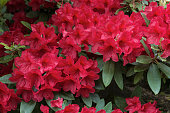 Red Rhododendron flowers blooming in garden during spring season closeup