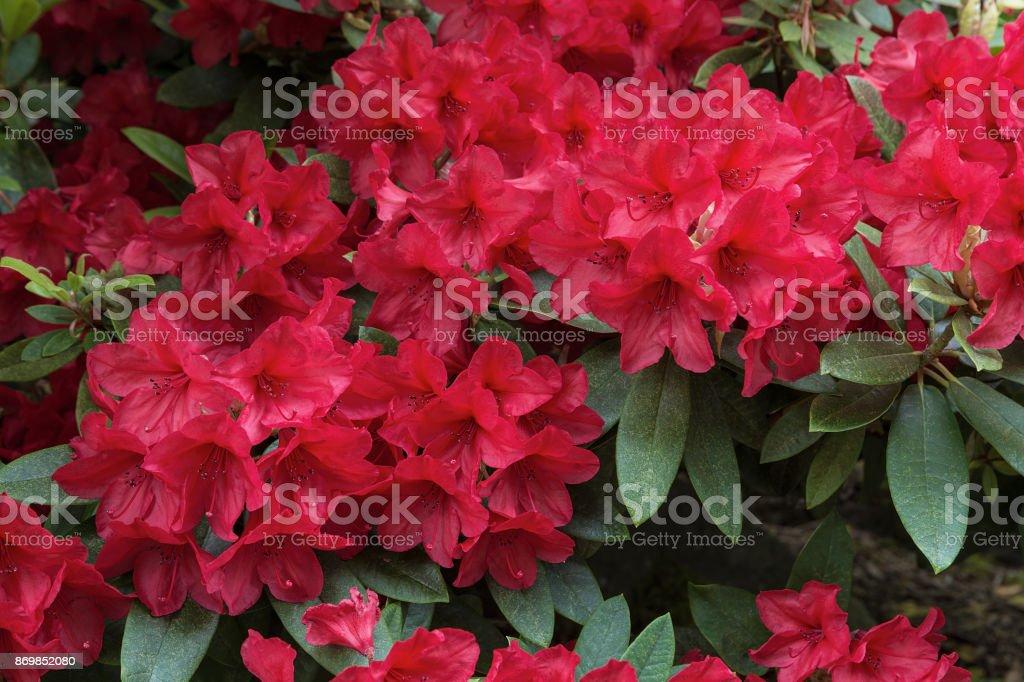 Rhododendron Rot Blumen blühen im Garten im Frühjahr Saison closeup – Foto
