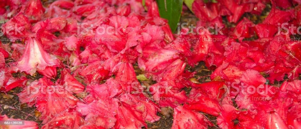 雨後公園的紅色杜鵑花 免版稅 stock photo