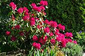 Red Rhododendron Nova Zembla, Latvia