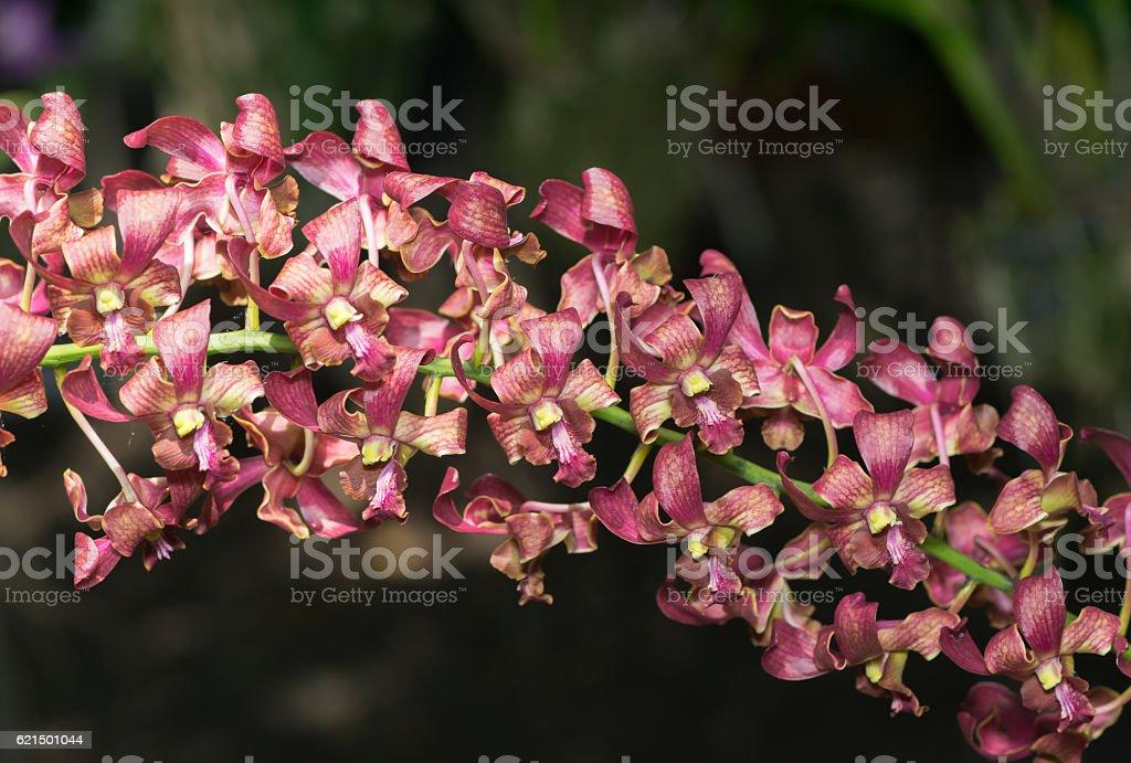 Red Rhynchostylis orchid flower photo libre de droits