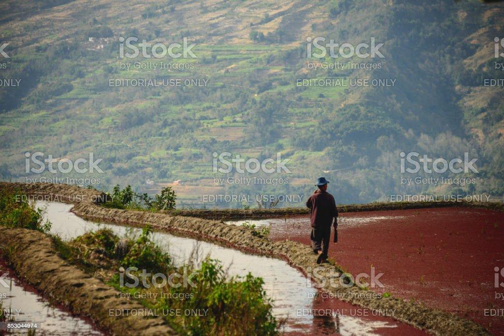 Red rice farmer stock photo