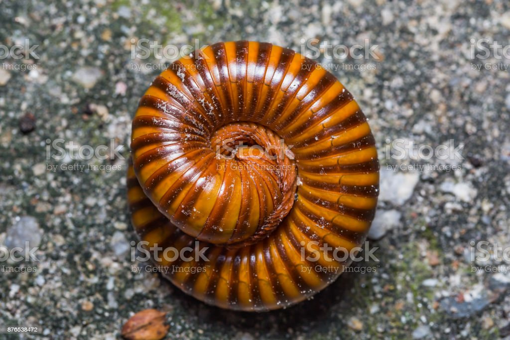 Red rings millipede stock photo