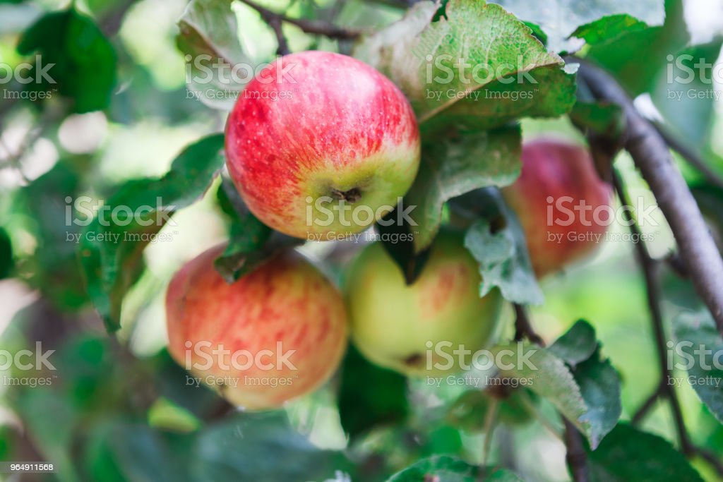 Red ripe apple on branch closeup of tree in garden royalty-free stock photo