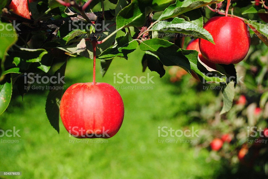 Red Ripe Apple on the tree stock photo
