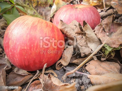 red ripe apple variety Glory to the Victors lies on the ground in dry leaves of an apple tree on a blurred background from another apple and dry leaves