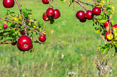 Red ripe apples on apple tree branches in green background. Copy space