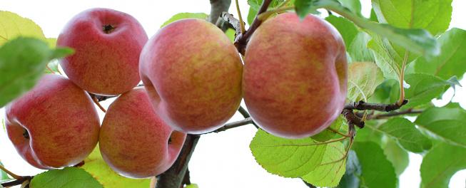 istock Red ripe apples on apple tree branch 1062394864